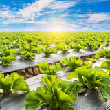 Green lettuce on field agriculture. Royalty Free Stock Photo