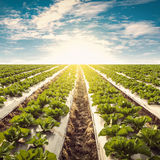 Green lettuce on field agricuture and blue sky. With vintage effect Stock Photos