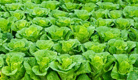 Green lettuce field Stock Image