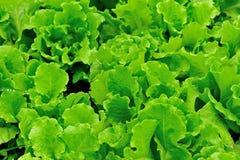Green lettuce field Royalty Free Stock Image