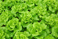 Green lettuce field Royalty Free Stock Photos