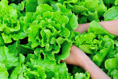 Green lettuce field Stock Photos