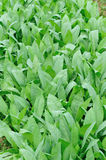 Green lettuce field Royalty Free Stock Photography