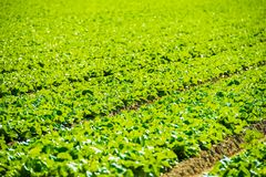Green Lettuce Field Royalty Free Stock Photo