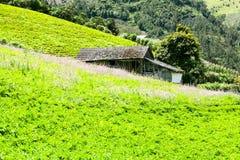 Green Lettuce Filed Stock Images