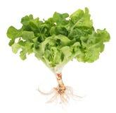 Green lettuce Stock Photography