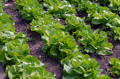 Green lettuce. In the garden royalty free stock image