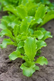 Green lettuce on a garden bed Stock Images