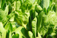 Green lettuce on a garden bed Stock Photo