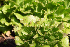 Green lettuce on a garden bed Royalty Free Stock Photography