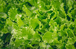 Green lettuce on the garden beds Royalty Free Stock Images