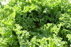 Green lettuce in the garden. Green lettuce in the garden on a sunny day Royalty Free Stock Photo