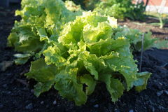 Green Lettuce Royalty Free Stock Image