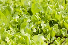 Green lettuce Royalty Free Stock Images