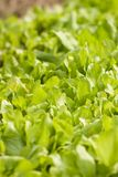Green lettuce Stock Photography