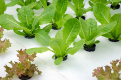 Green  Lettuce  hydroponics Stock Images