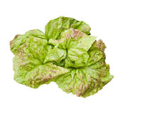 Green lettuce lactuca sativa. A fresh green lettuce isolated on white background Stock Photos