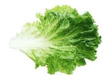 Green Lettuce Leaf Royalty Free Stock Image