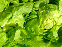 Green lettuce leaves. Fresh green salad stock image
