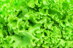 Green Lettuce leaves Royalty Free Stock Photos