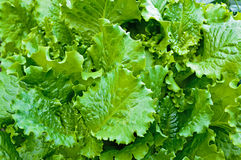 Green lettuce leaves Royalty Free Stock Images