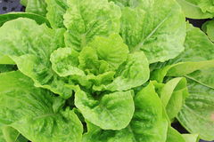 Green Lettuce Stock Photo