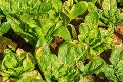 Green Lettuce organic salad vegetable Stock Photos