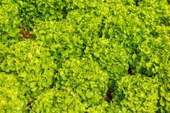 Green Lettuce organic salad vegetable Stock Photography