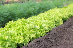 Green lettuce. The photo of green salad about fennel Stock Photography