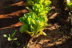 Green lettuce plants on field stock images