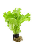 Green lettuce in pot isolated on a white. Green lettuce in pot with roots isolated on a white background Royalty Free Stock Photography