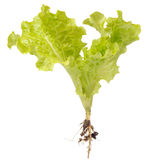 Green Lettuce with Roots Isolated on White Background Royalty Free Stock Photo