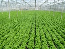 Green lettuce in  a row in a glasshouse Royalty Free Stock Photography