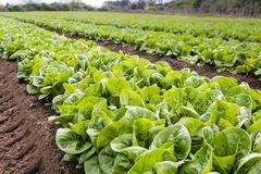 Green Lettuce Rows Royalty Free Stock Image