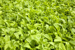 Green Lettuce Royalty Free Stock Photo