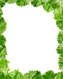 Green Lettuce Salad Frame Royalty Free Stock Images