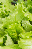 Green lettuce salad in a garden Stock Photography
