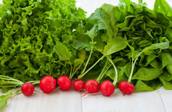 Green lettuce salad and red radish. Organic fresh lettuce salad and red radish Royalty Free Stock Images