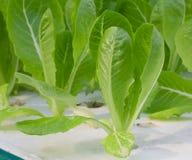 Green lettuce seedling Stock Photography