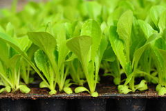 Green lettuce seedling. food and vegetable Royalty Free Stock Image