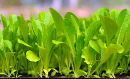 Green lettuce seedling. food and vegetable. Background stock photo