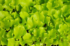 Green lettuce seedling. food and vegetable stock photography