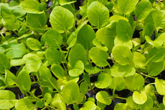 Green lettuce seedling. food and vegetable Stock Images