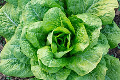 Green lettuce. To shaped of flower Stock Image