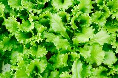 Green lettuce. Top view of fresh green lettuce leaves grown on agricultural plantation or farm Royalty Free Stock Photography