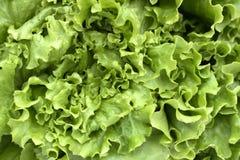 Green lettuce on white background. Royalty Free Stock Photo