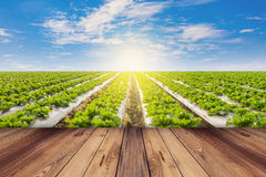 Green lettuce and wooden floor on field agriculture with blue sky Royalty Free Stock Images