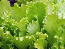 Green lettuces Stock Photography