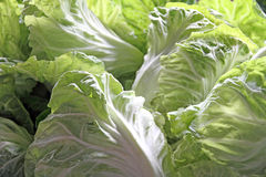 Green lettuces Stock Images