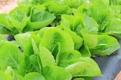 Green Lettuces Stock Photos
